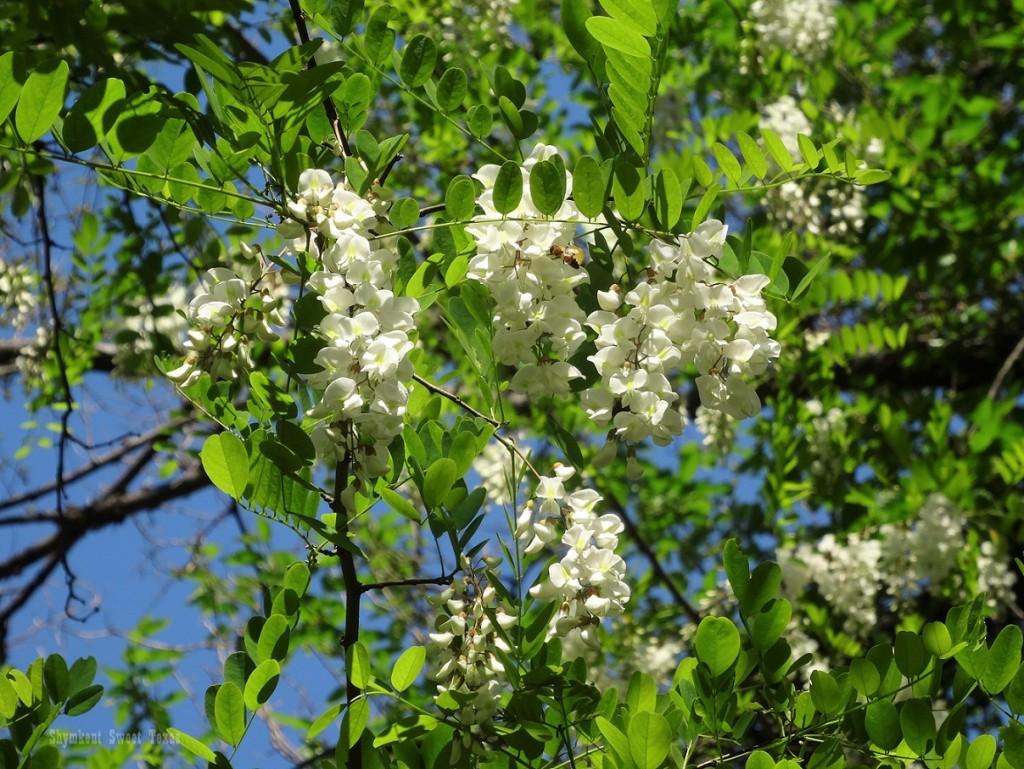 Fleurs acacia parc métallurgistes