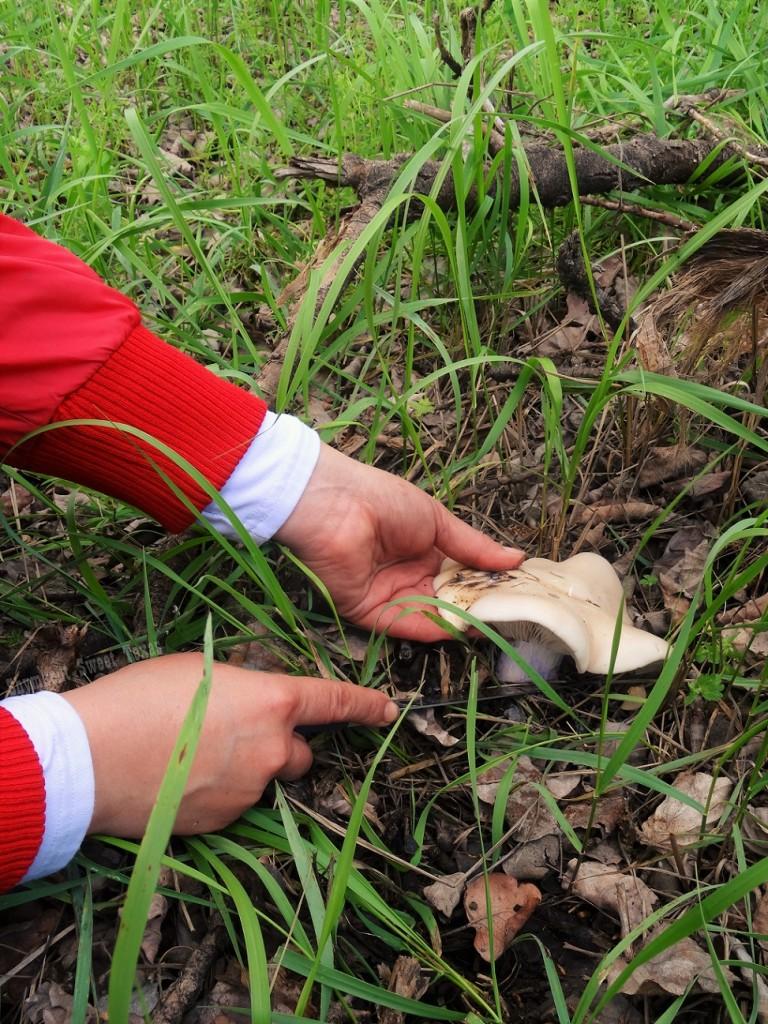 Cueillette champignon