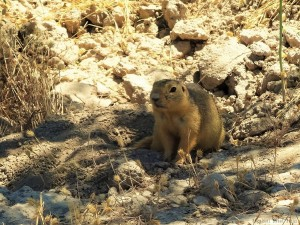 The yellow ground squirrel, or yellow souslik