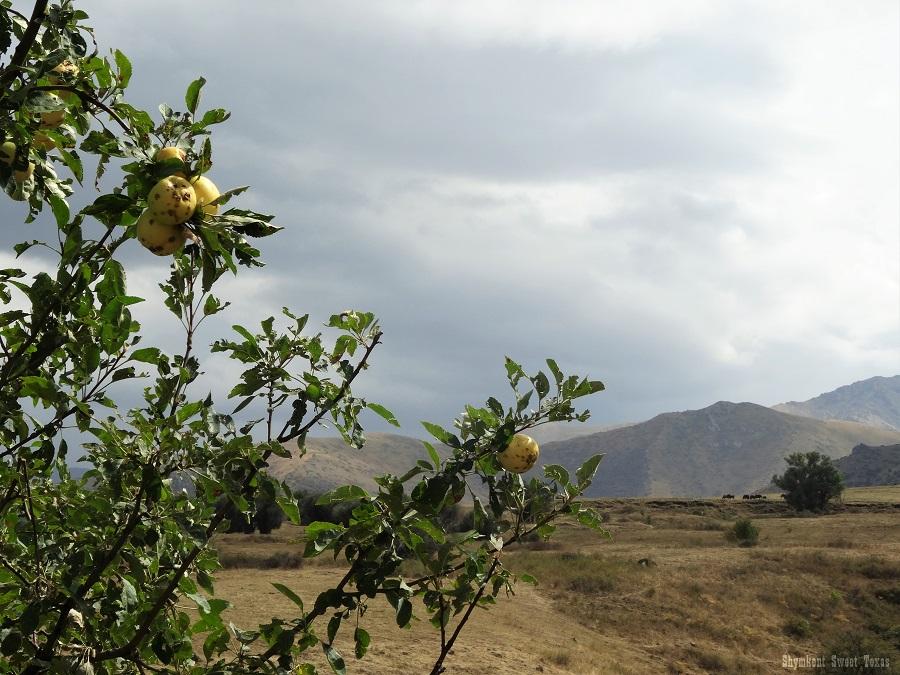 malus-sieversii-aksu-zhabagly_pommes-jaunes-en-montagne