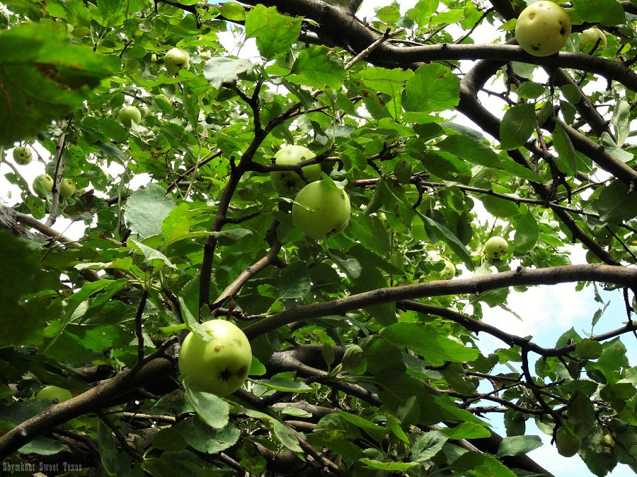 malus-sieversii-aksu-zhabagly_pommes-vertes-sur-arbre