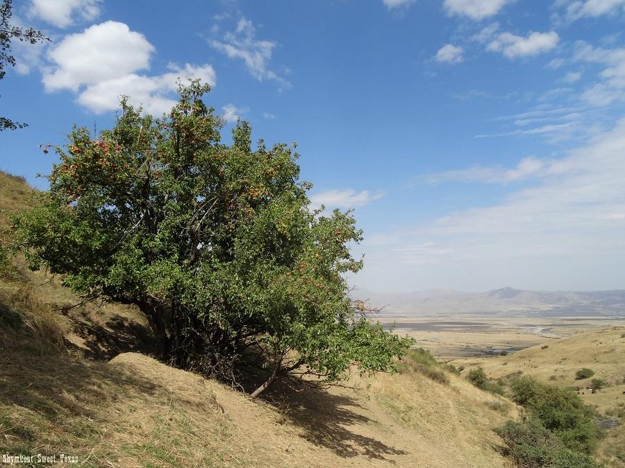 malus-sieversii-aksu-zhabagly_pommier-en-montagne