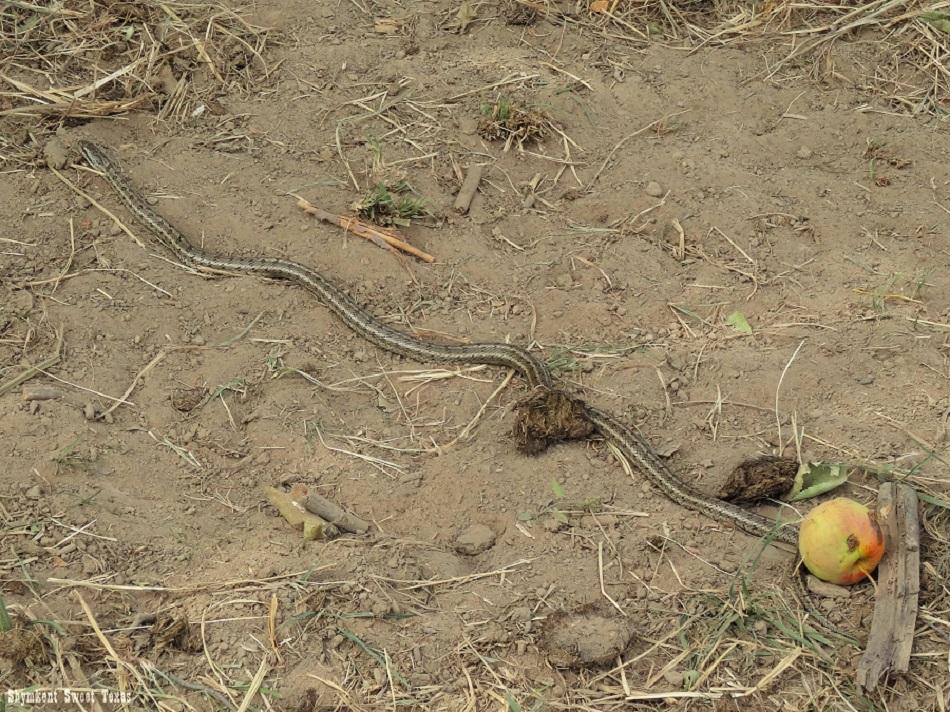 malus-sieversii-aksu-zhabagly_serpent-et-pomme