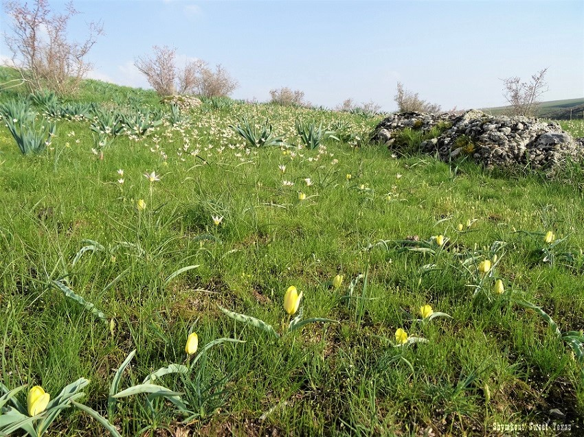 Tulipes Lemmersii et tulipe bifloriformis_Mashat Canyon