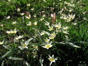 Tulip bifloriformis