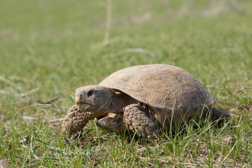 L'attribut alt de cette image est vide, son nom de fichier est Horsfield's-Tortoise_Steppes-of-southern-Kazakhstan-1024x683.jpg.