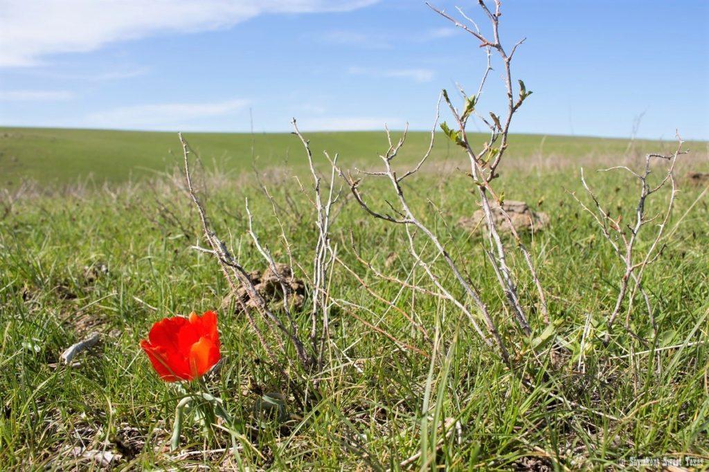 L'attribut alt de cette image est vide, son nom de fichier est Tulip-korolkowii_Steppes-of-South-Kazakhstan-1024x682.jpg.