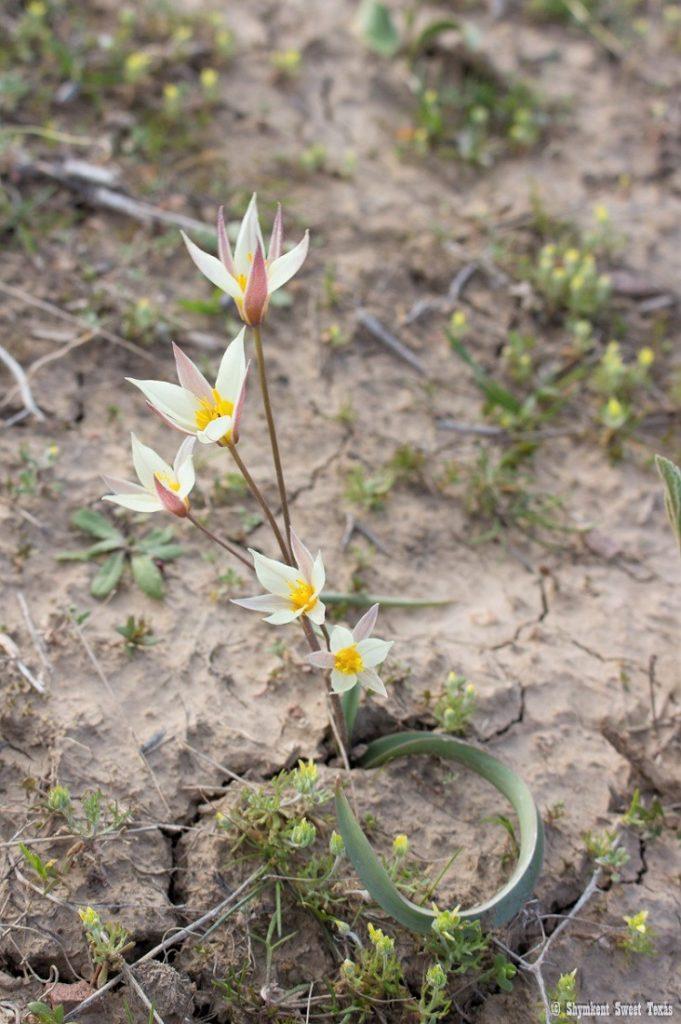 L'attribut alt de cette image est vide, son nom de fichier est Tulipa-buhseana_South-Kazakhstan-681x1024.jpg.