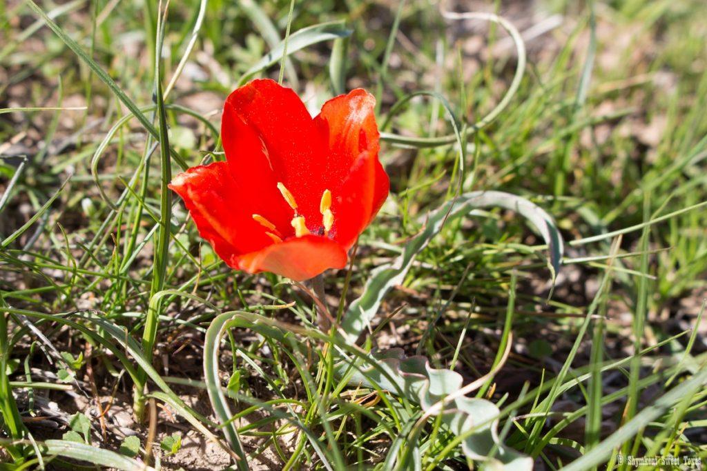 L'attribut alt de cette image est vide, son nom de fichier est Tulipa-korolkowii_Shymkent_South-Kazakhstan-1024x683.jpg.