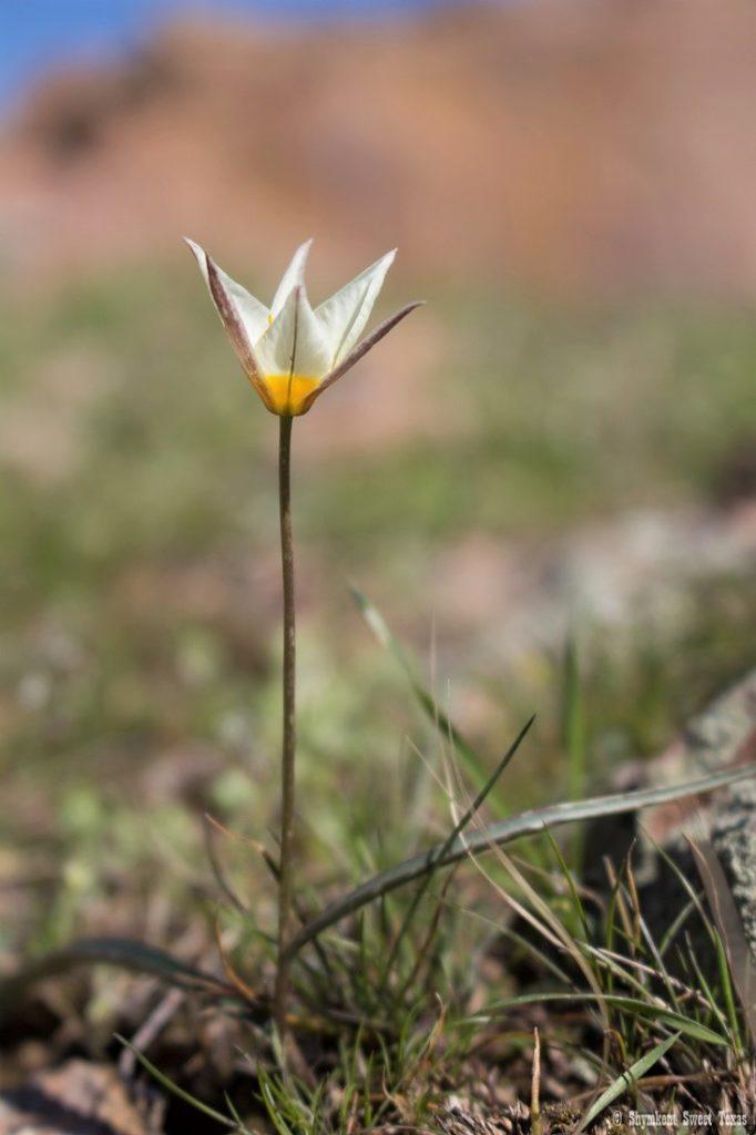 L'attribut alt de cette image est vide, son nom de fichier est Tulipe-buhseana_Sud-Kazakhstan_Shymkent-682x1024.jpg.
