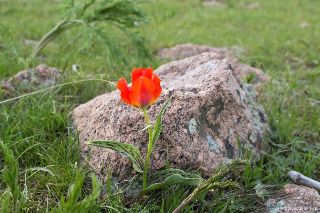 L'attribut alt de cette image est vide, son nom de fichier est Tulipe-greigii_Sud-Kazakhstan_Shymkent-1024x683.jpg.