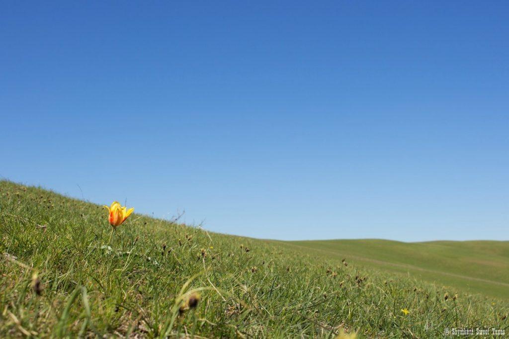 L'attribut alt de cette image est vide, son nom de fichier est Tulipe-korolkowii_Steppe-Kazakhstan_Shymkent-1024x682.jpg.