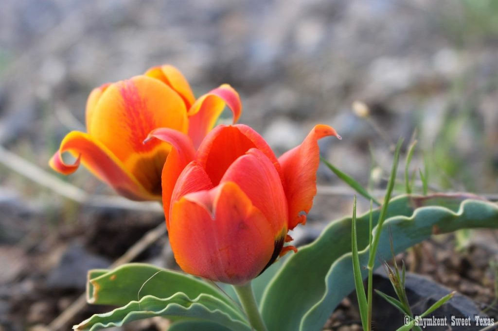 L'attribut alt de cette image est vide, son nom de fichier est Tulipes-dAlbert-Regel-Karatau_Sud-du-Kazakhstan_200km-Shymkent-1024x682.jpg.