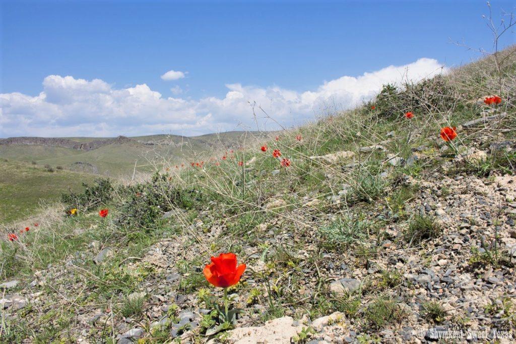 L'attribut alt de cette image est vide, son nom de fichier est Tulipes-greigii_Montagnes-de-Karatau_Sud-Kazakhstan-1024x682.jpg.