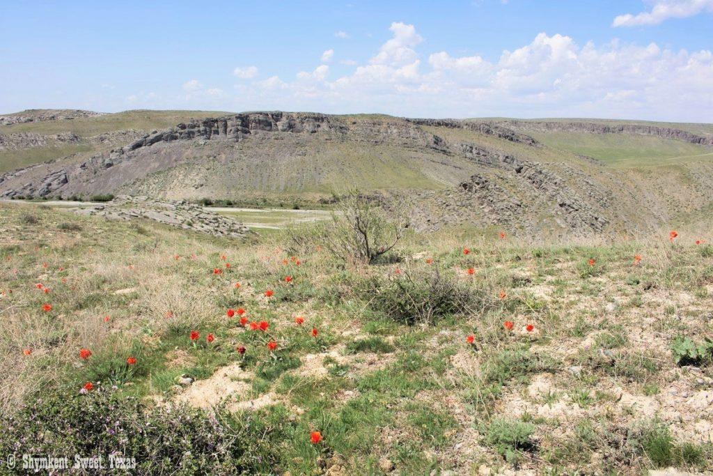 L'attribut alt de cette image est vide, son nom de fichier est Tulipes-sauvages-greigii-et-alberti_Reserve-naturelle-de-Karataou_Sud-Kazakhstan-1024x683.jpg.