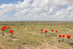 La tulipe borszczowii